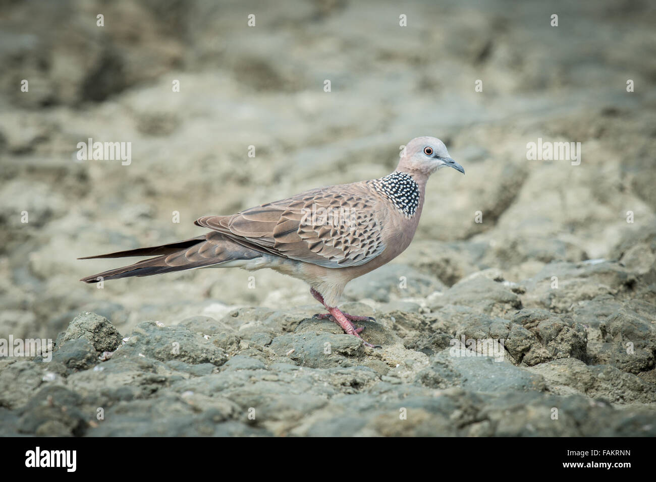 The spotted dove (Spilopelia chinensis) is a small and somewhat long-tailed pigeon - Stock Image