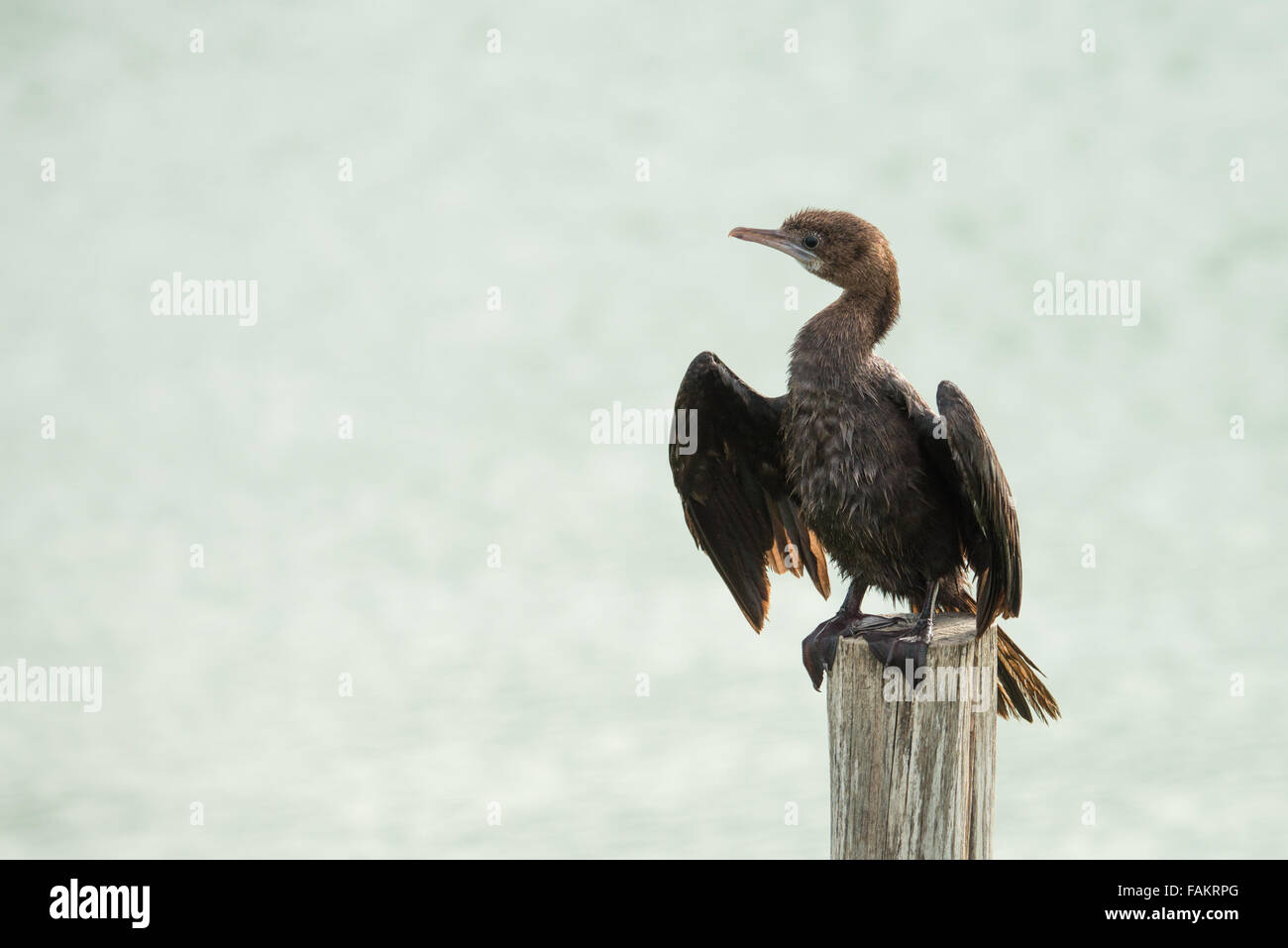 Little Cormorant Phalacrocorax niger drying its wings. Laem Pak Bia, Thailand. - Stock Image