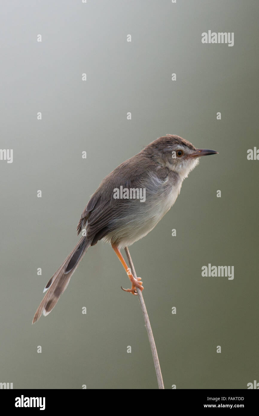 The plain prinia, or the plain, or white-browed wren-warbler (Prinia inornata) is a small warbler in the Cisticolidae - Stock Image