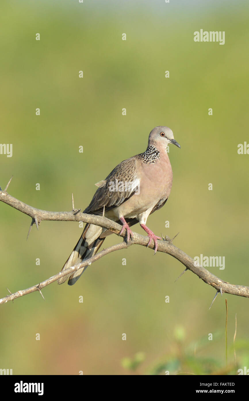 The spotted dove (Spilopelia chinensis) is a small and somewhat long-tailed pigeon which is a common resident breeding - Stock Image