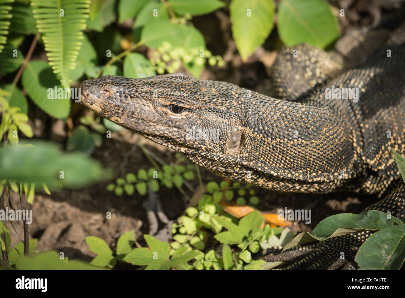 The water monitor (Varanus salvator) is a large lizard native to South and Southeast Asia. Water monitors are one - Stock Image