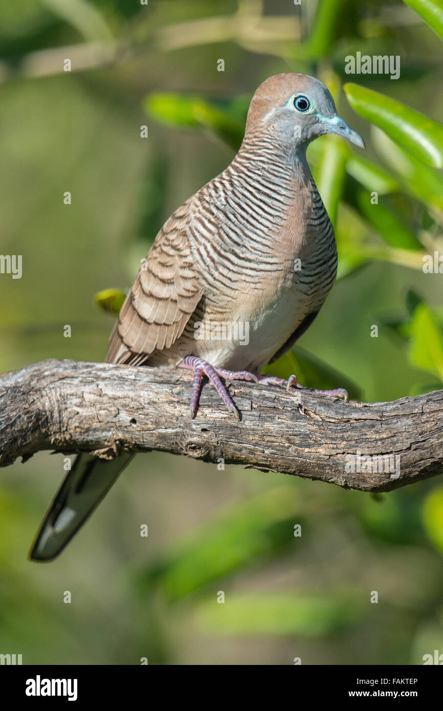The zebra dove (Geopelia striata) also known as barred ground dove, is a bird of the dove family Columbidae, native - Stock Image