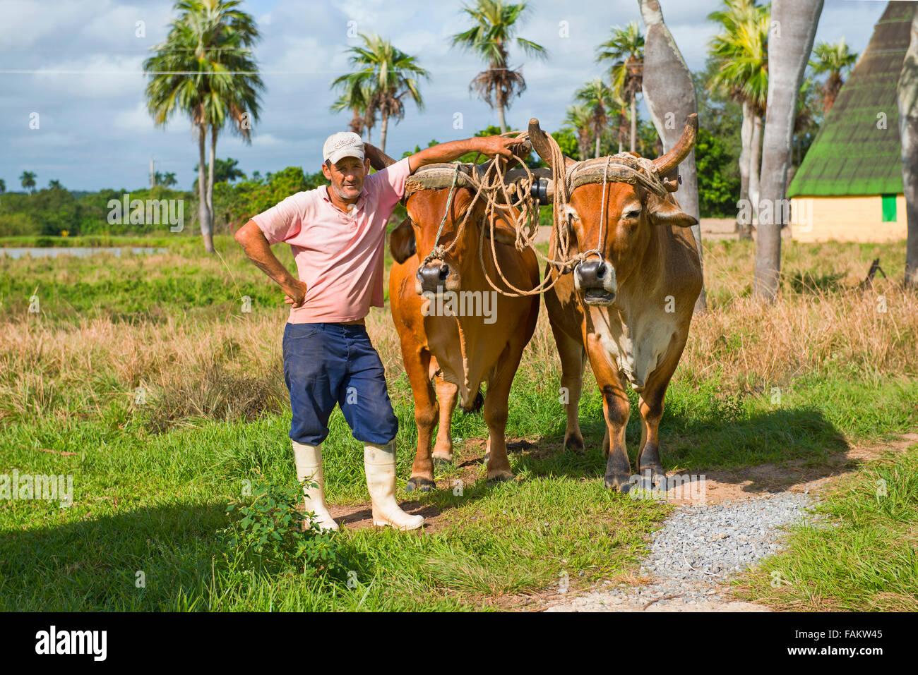 Cuban Farmer, with Oxen, Bullocks, Vinales Valley, Pinar del Rio Cuba - Stock Image