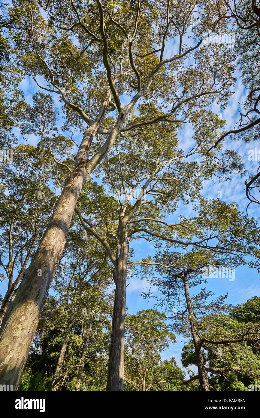 Gum trees (Eucalyptus) growing in Australia - Stock Image