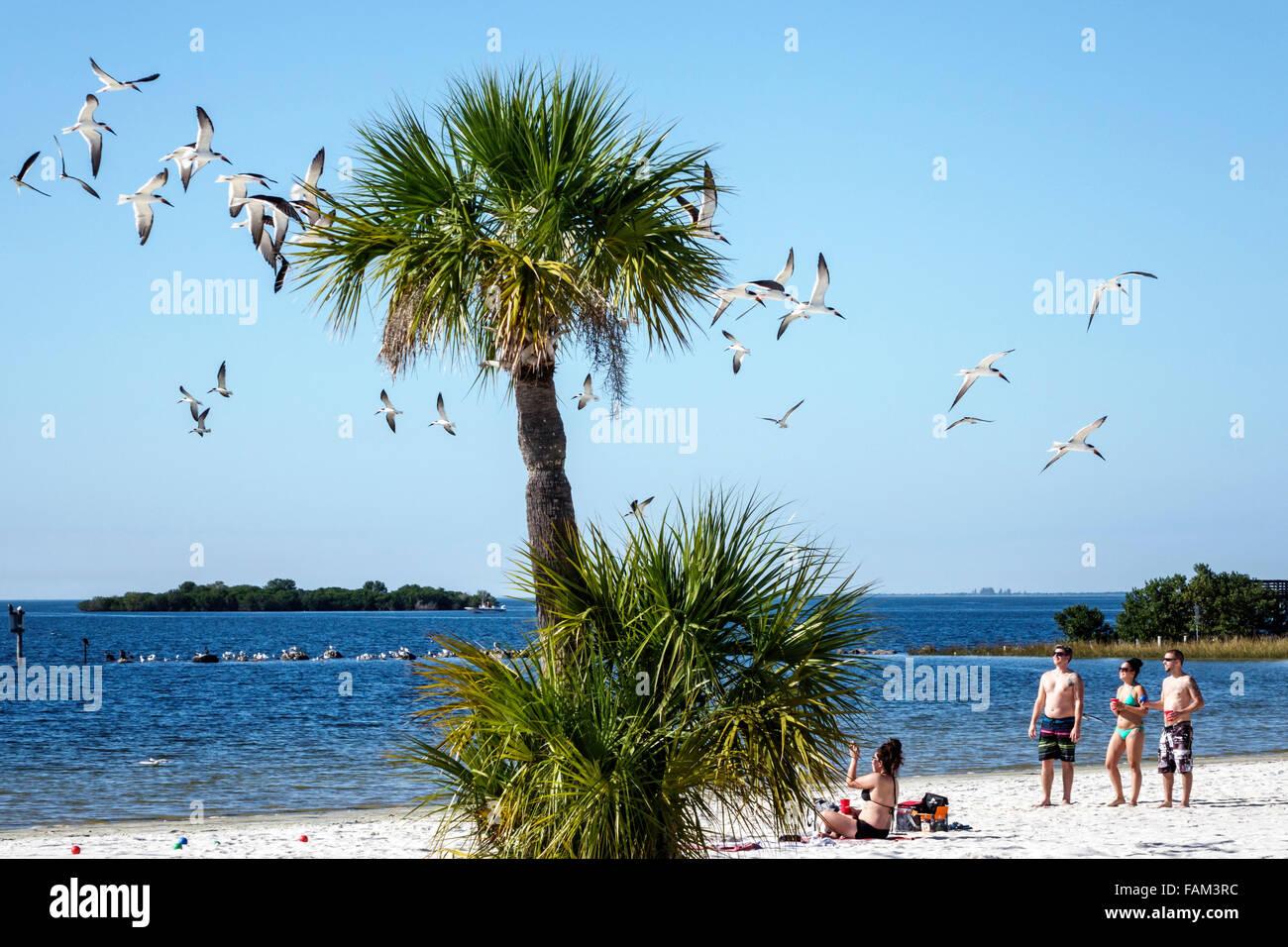 Florida Crystal River Fort Island Gulf Beach Gulf of Mexico public sand black skimmer Rynchops niger sea gulls terns - Stock Image