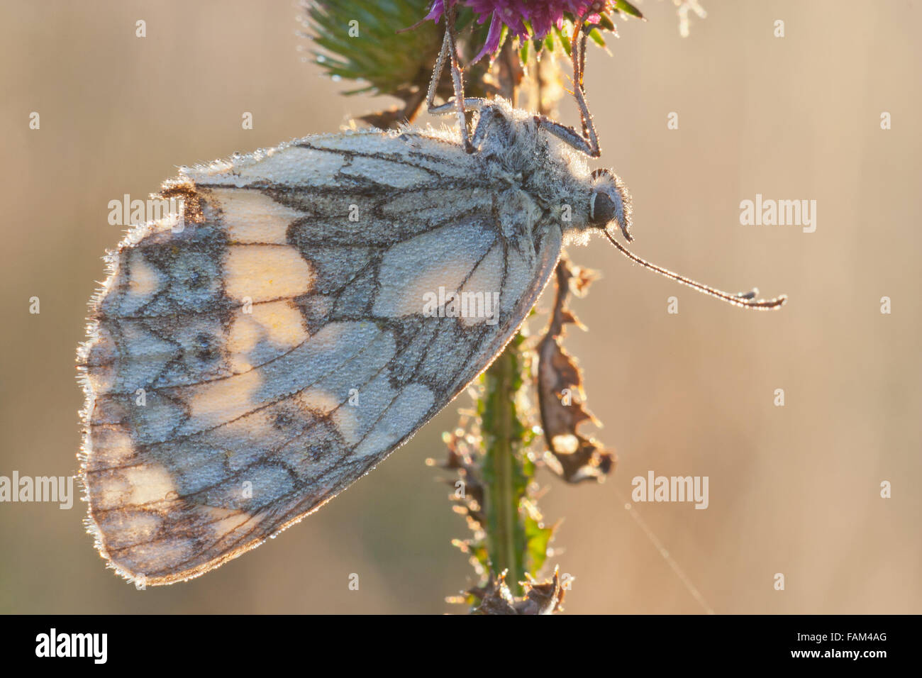 Marbled White butterfly, Melanargia galathea sleeping with dew drops in morning light - Stock Image