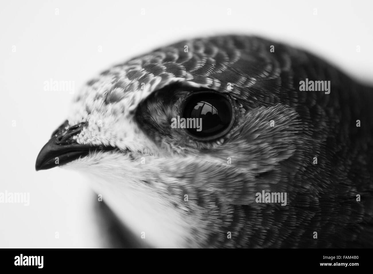 Juvenile Common Swift, Apus apus portrait - Stock Image