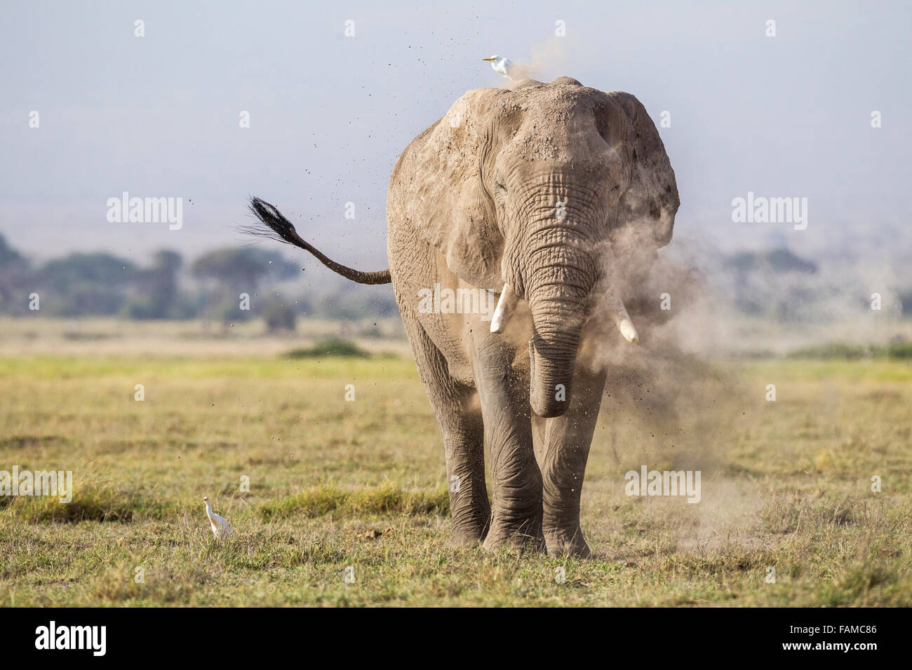 An elephant taking a dust bath in the Amboseli National Park, Kenya, East Africa - Stock Image