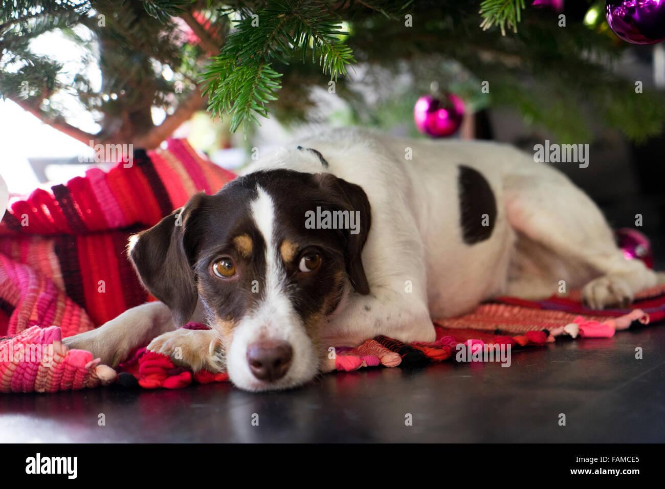 dog under christmas tree - Stock Image