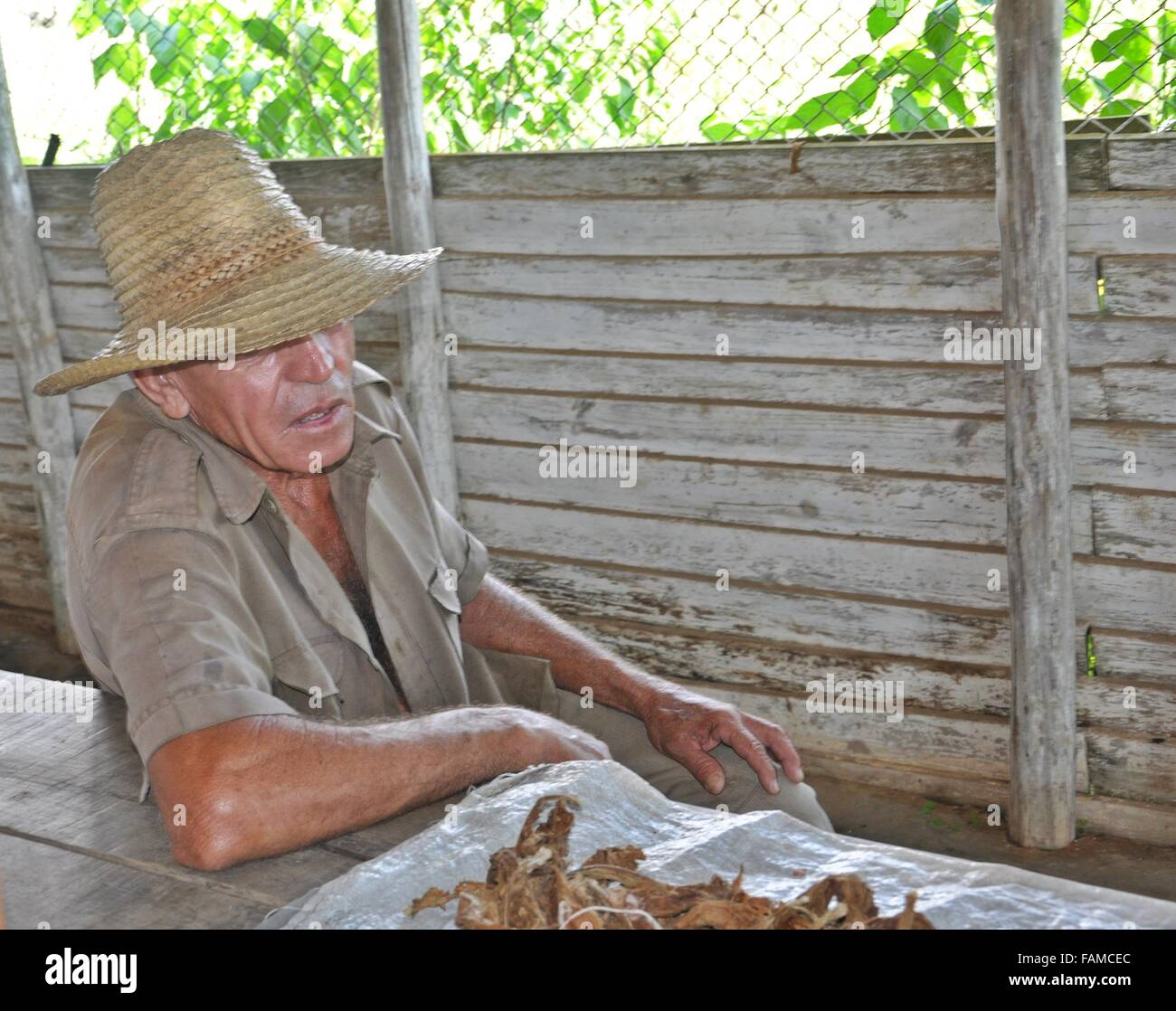 tobacco farmer cuba with hat - Stock Image
