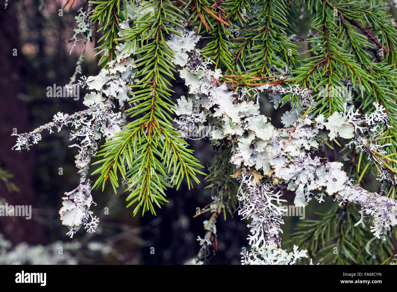Spruce with ragged lichen - Stock Image