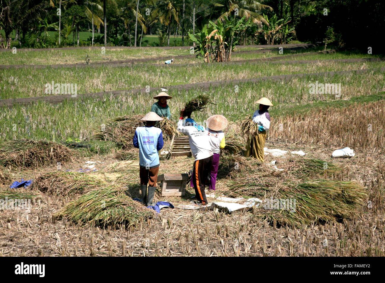 Indonesia Central Java Jogjakarta The rice harvest  Adrian Baker - Stock Image