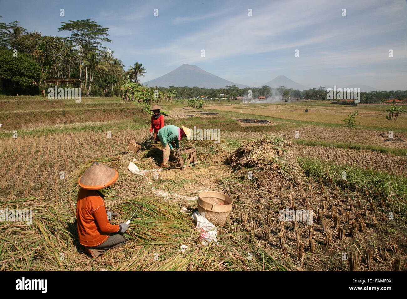 Indonesia Central Java Magelang The rice harvest on the plains between the many volcanoes of the area.  Adrian Baker - Stock Image