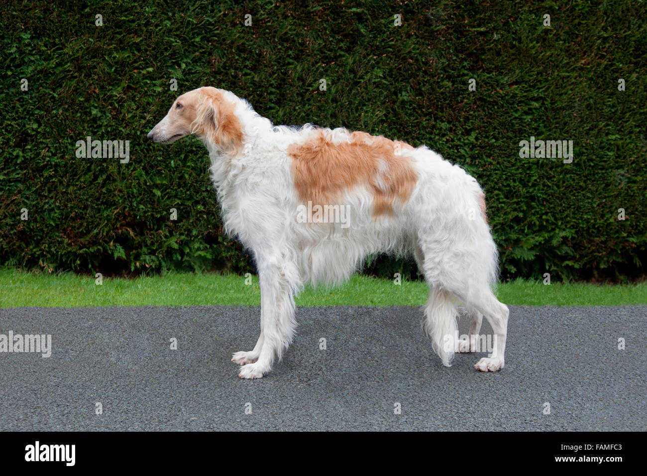Russian Wolfhound - Stock Image