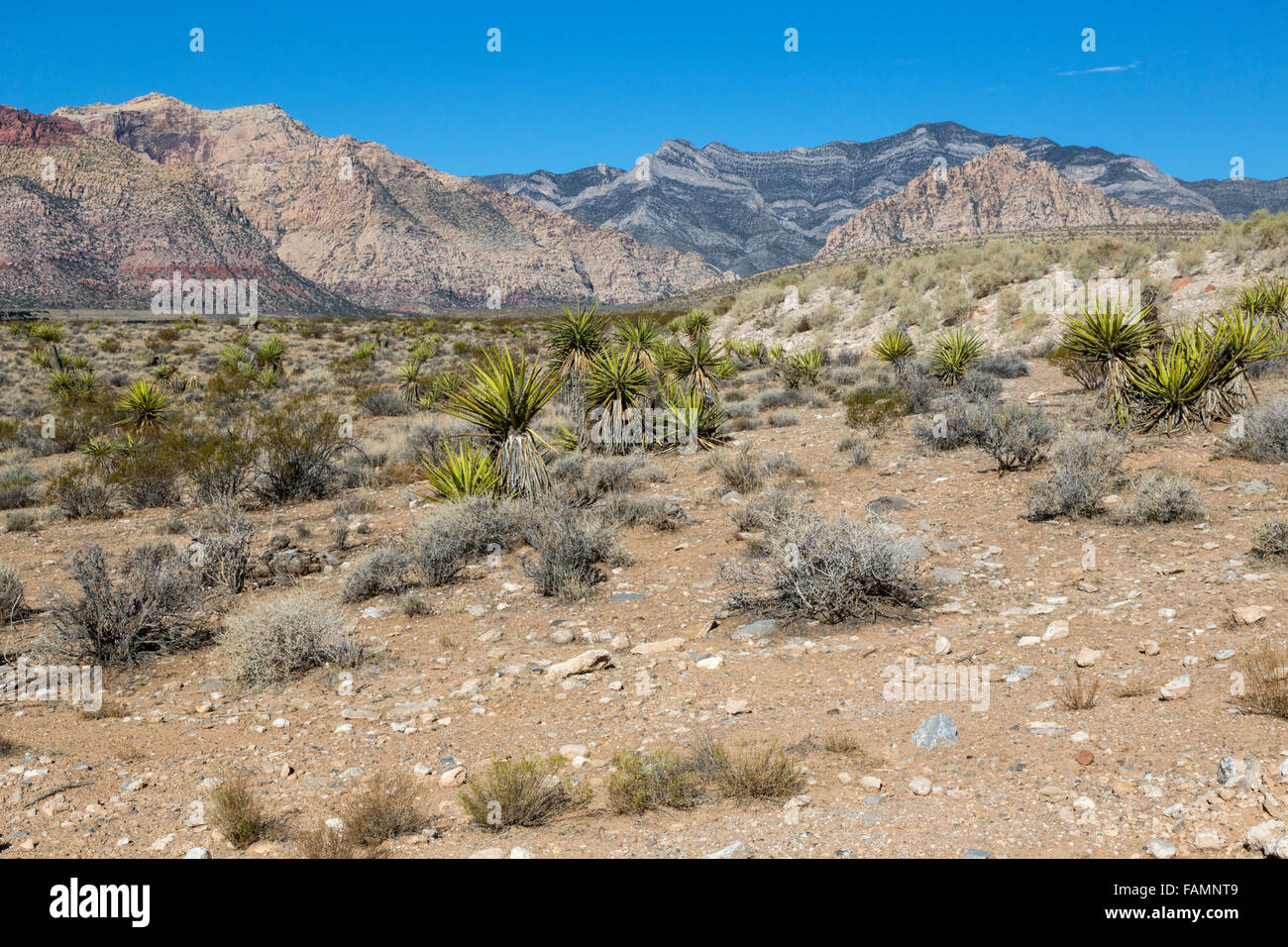 Red Rock Canyon, Nevada.  Mojave Yucca in middle, Keystone Thrust Gray Limestone in background. - Stock Image