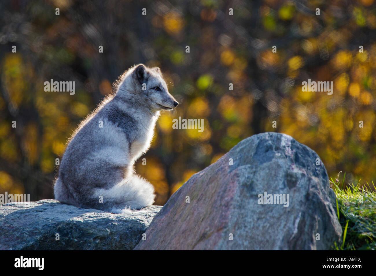 Arctic (Vulpes lagopus)  fox in autumn golden light - Stock Image