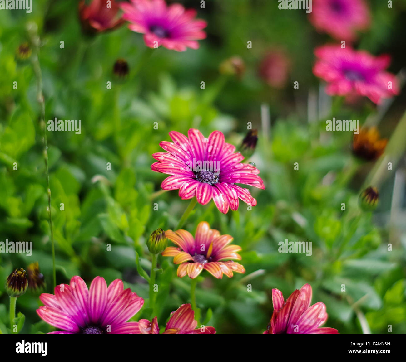 Pink and purple Osteospermum / Cape Daisy of the Astra Outback Purple variety, some buds and some in bloom, just Stock Photo