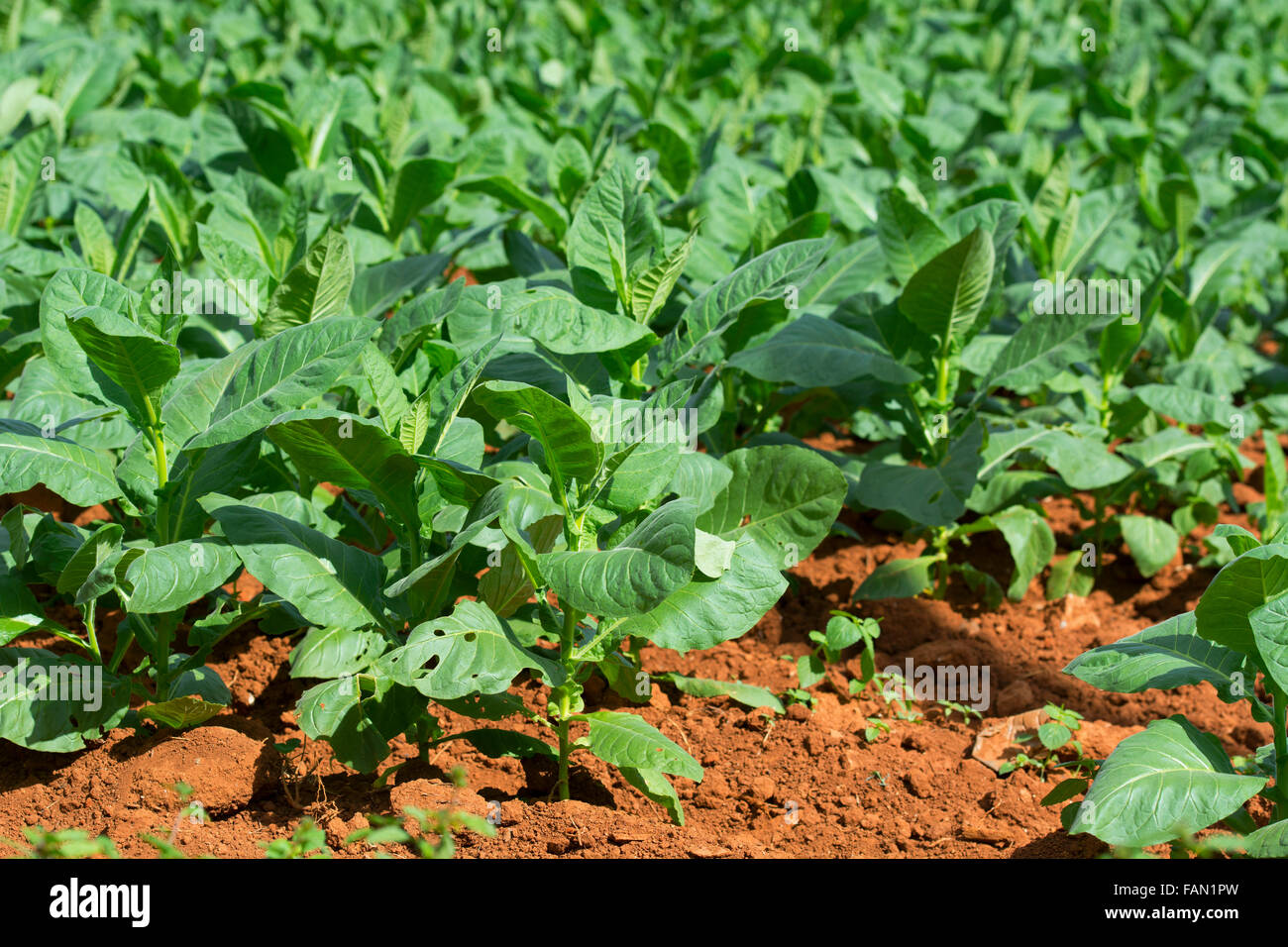 Tobacco Leaves Growing - Stock Image