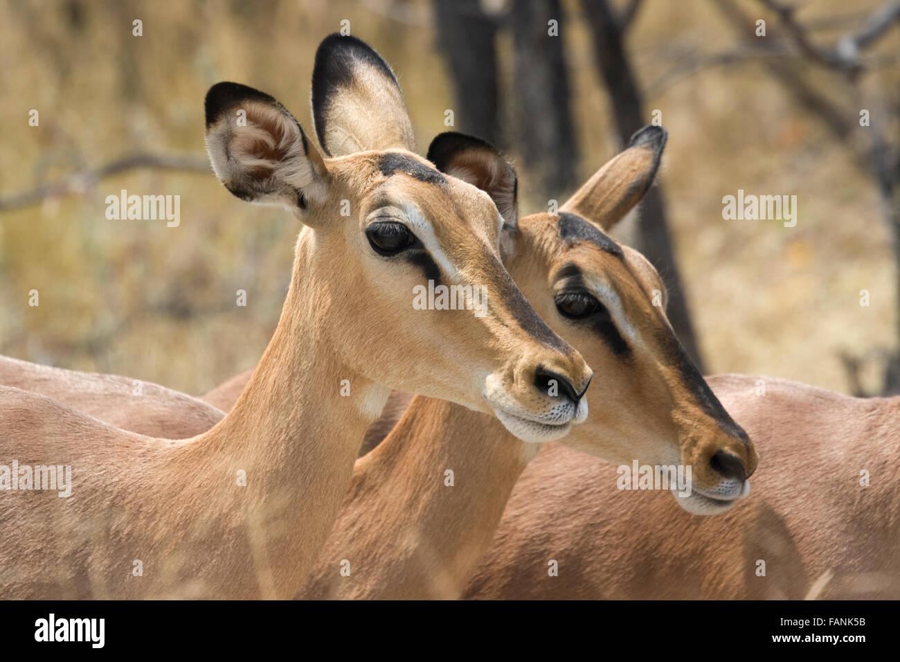Head shot of two impala in Etosha National Park - Stock Image