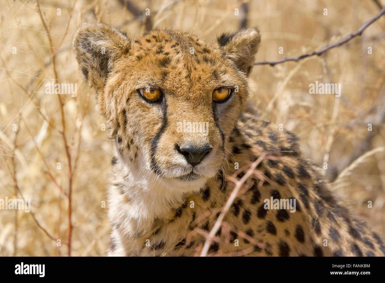 Cheetah looking direct at camera, big eyes, surrounded by bush - Stock Image