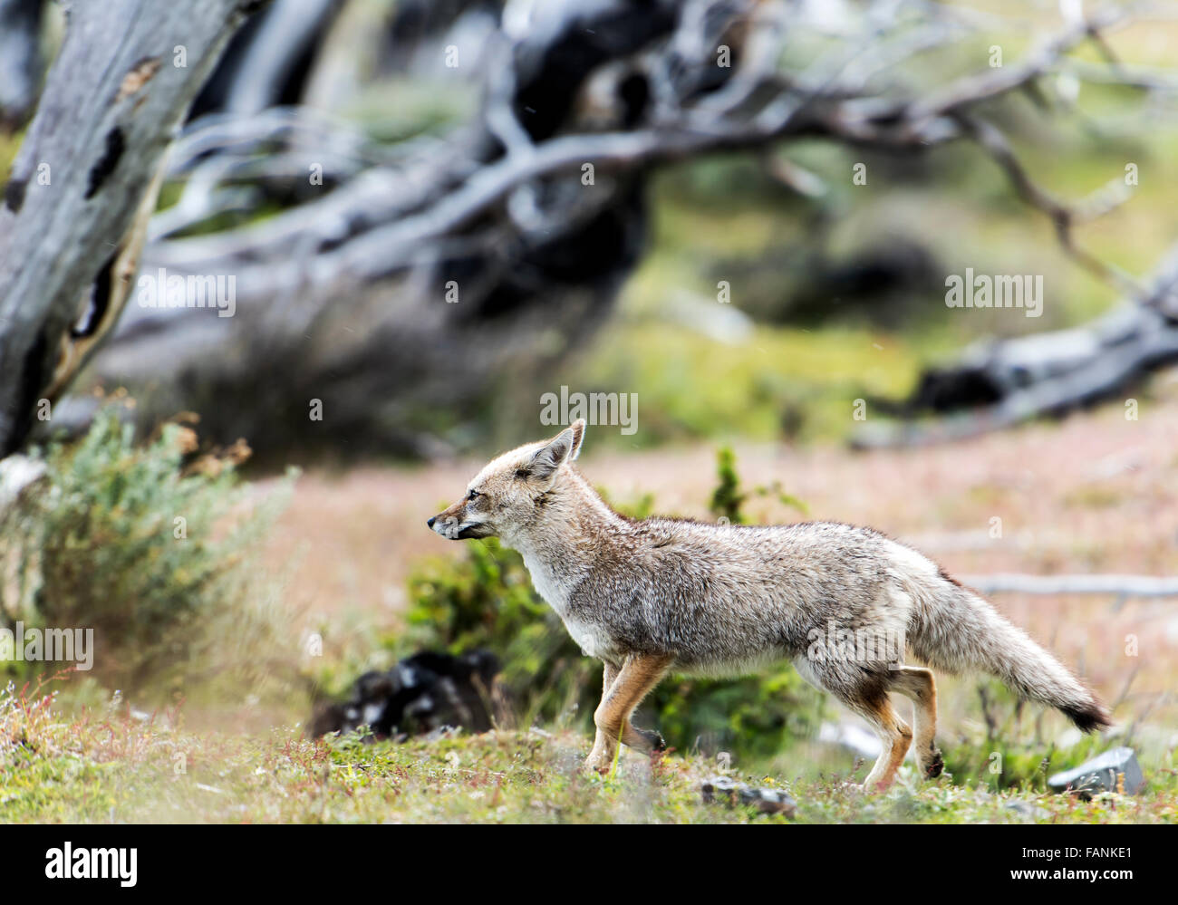South American / Patagonian Grey Fox (Lycalopex griseus) Torres del Paine National Park Chilean Patagonia Chile - Stock Image