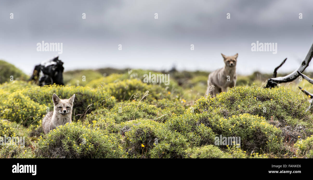 South American / Patagonian Grey Foxes (Lycalopex griseus) Torres del Paine National Park Chilean Patagonia Chile - Stock Image