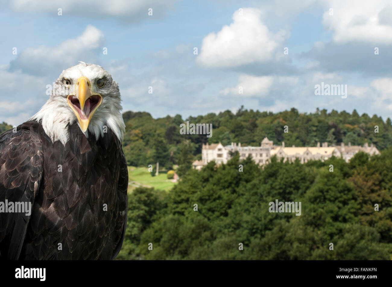 Bald Eagle (Haliaeetus leucocephalus) with its mouth open and Bovey Castle hotel in the background Dartmoor, England - Stock Image