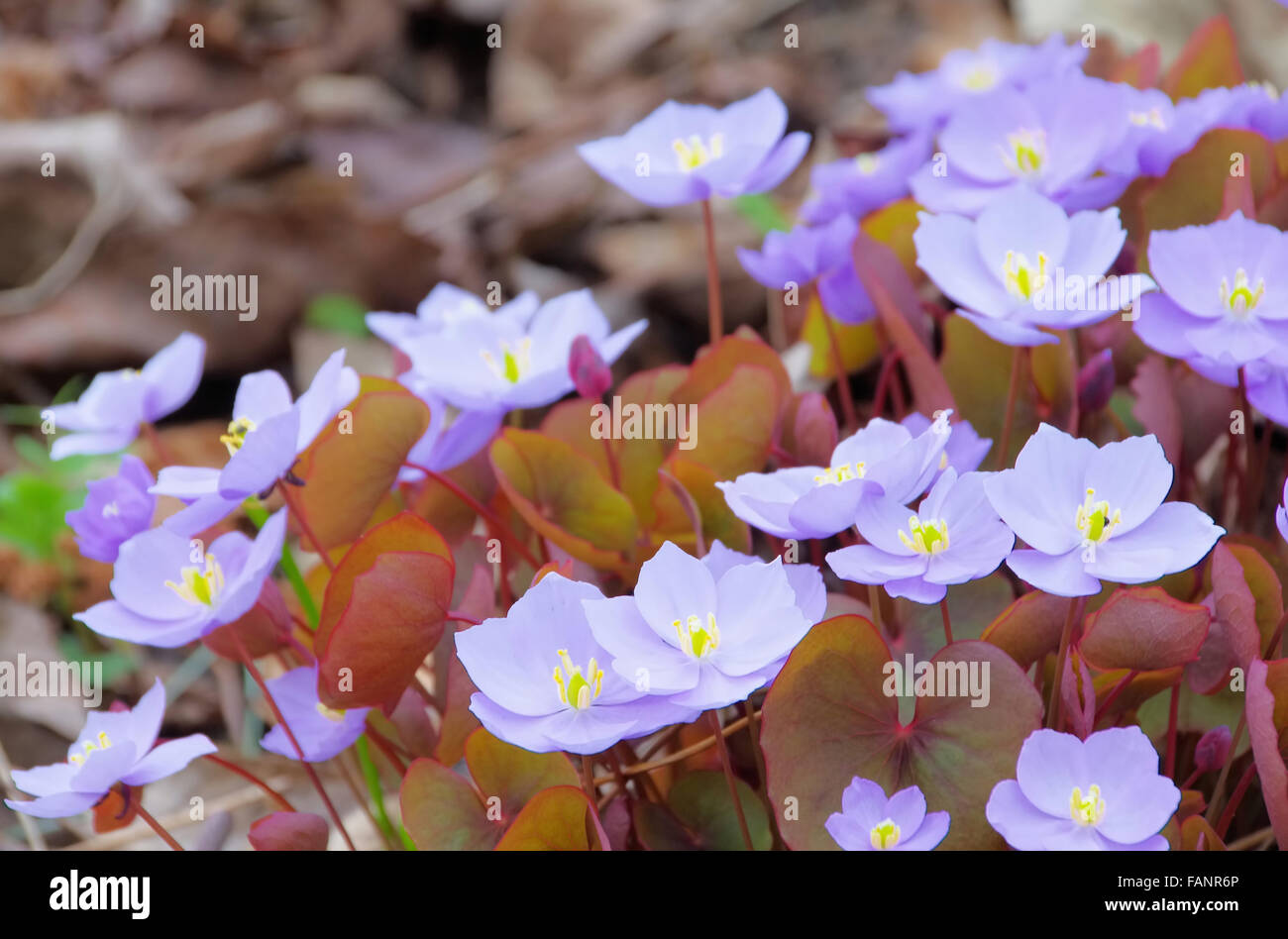 Leberbluemchen - Hepatica nobilis 02 Stock Photo