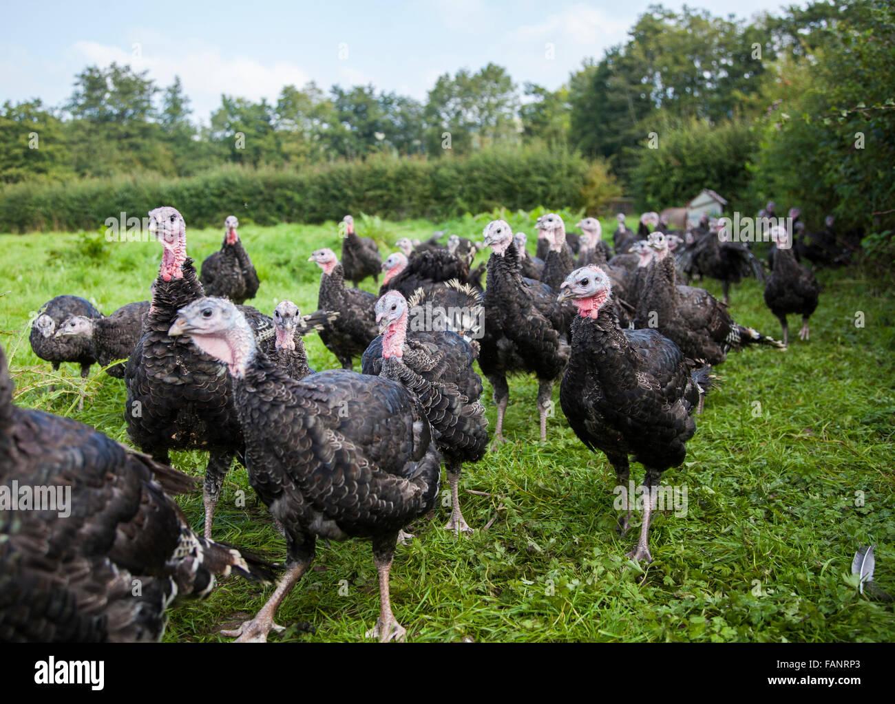 Turkeys in a field on an organic turkey farm a few months before Christmas Stock Photo