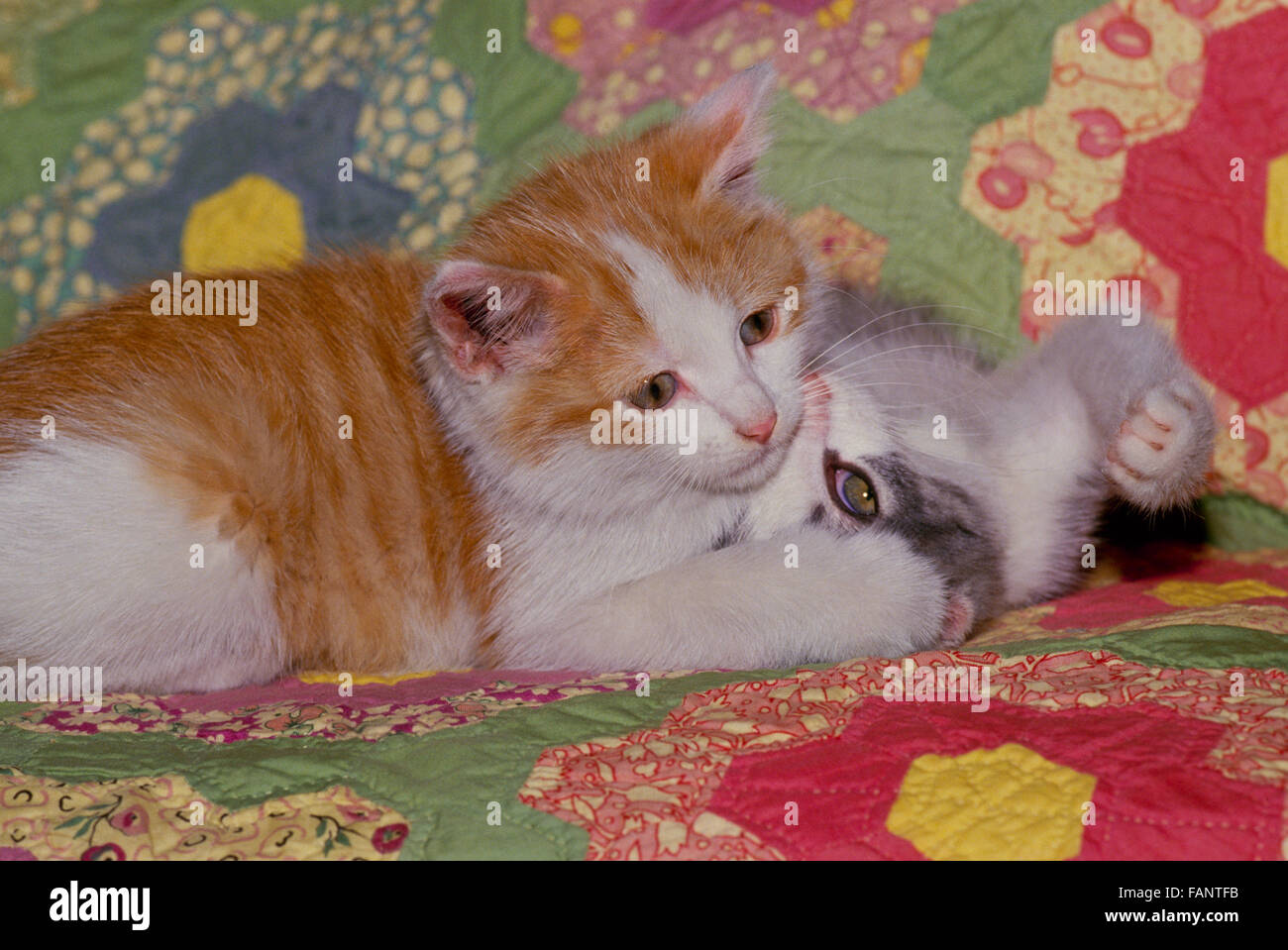 Two kittens playing on home made quilt, Maine, USA - Stock Image