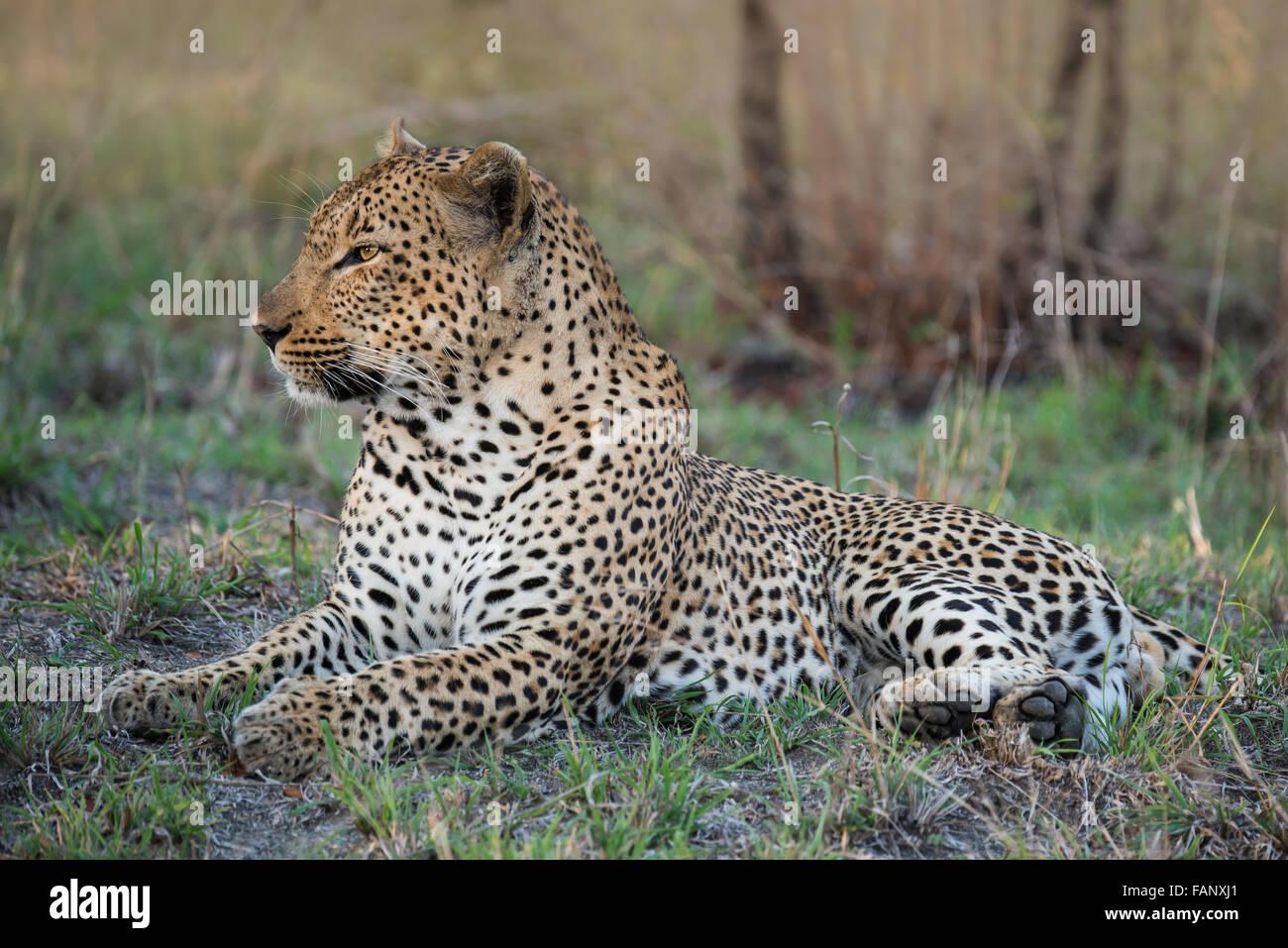 Leopard (Panthera pardus) male, Sabie Sands Game Reserve, Sabi Sabi Bush Lodge, South Africa, RSA - Stock Image