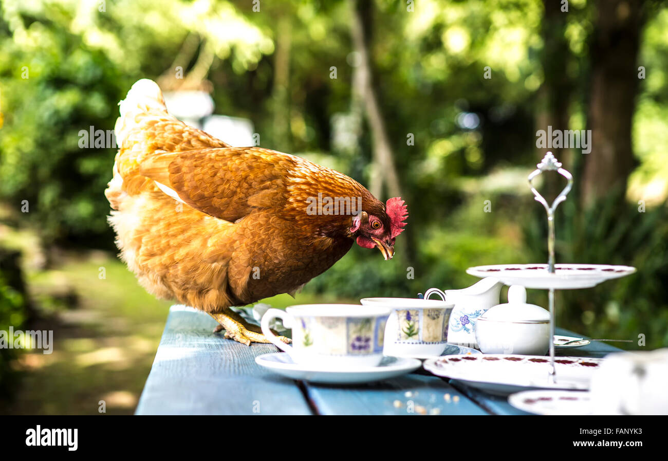 Chicken eating leftovers on table - Stock Image