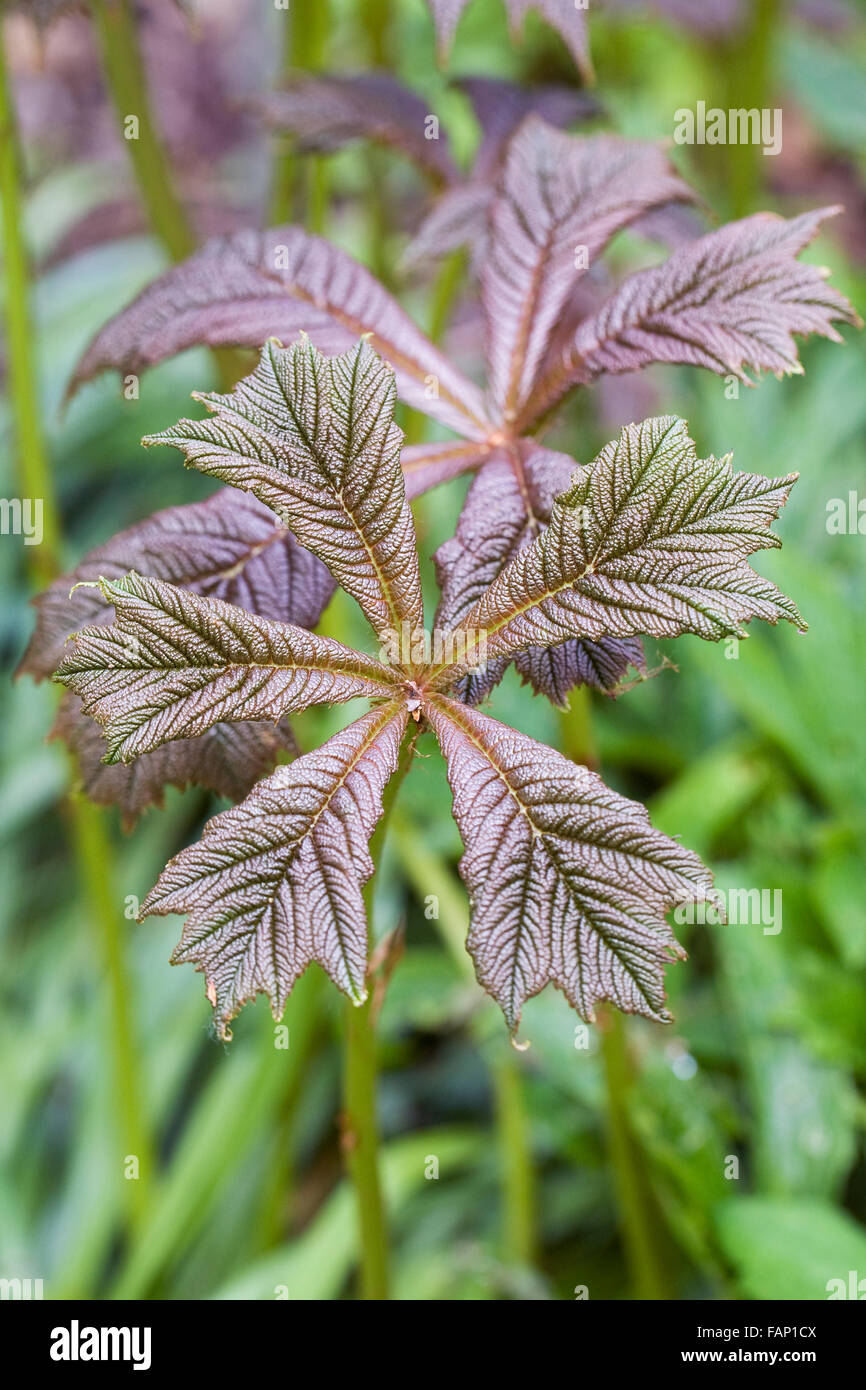 Rodgersia aesculifolia var. henrici leaves in Spring. - Stock Image