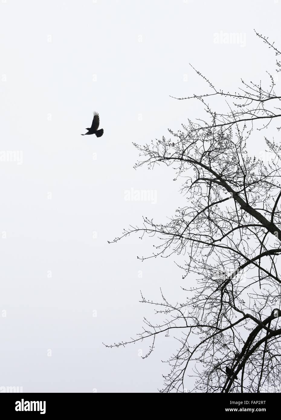 A crow flying from a bare tree. - Stock Image
