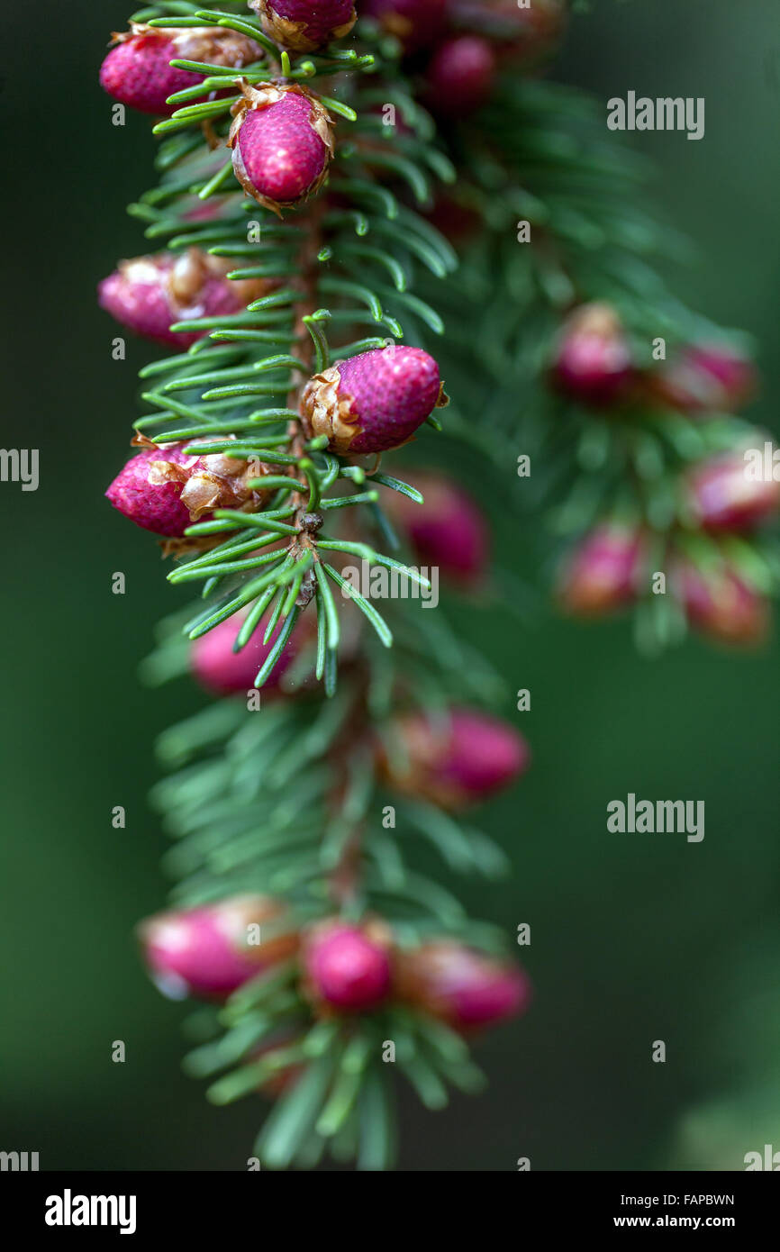 Norway Spruce, Picea abies 'Finedonensis', close-up of flower cones - Stock Image