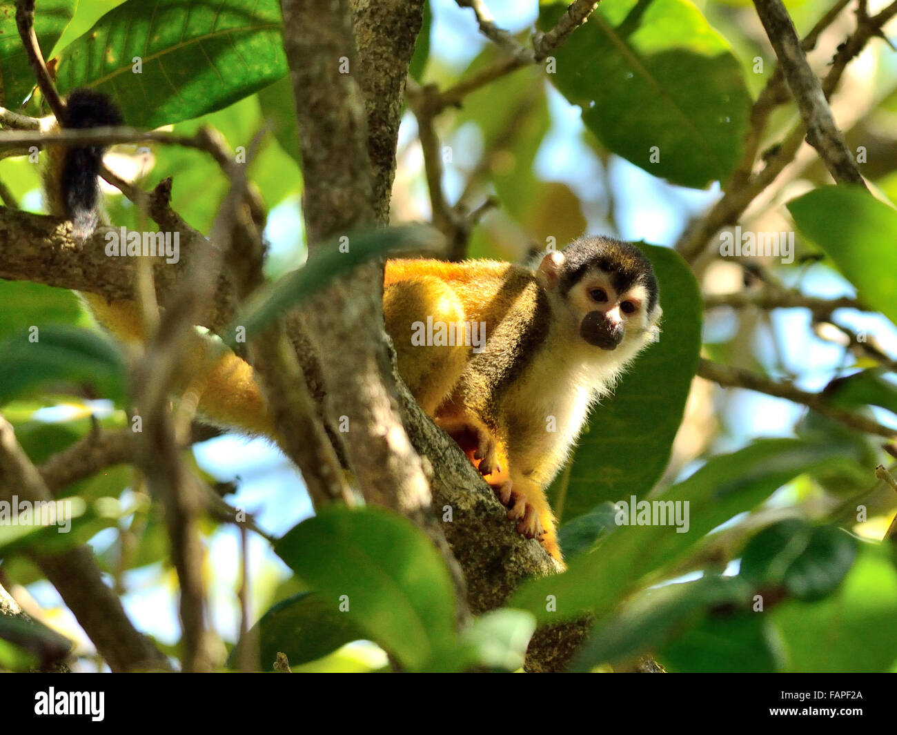 Squirrel monkey in Corcovado National Park Costa Rica - Stock Image