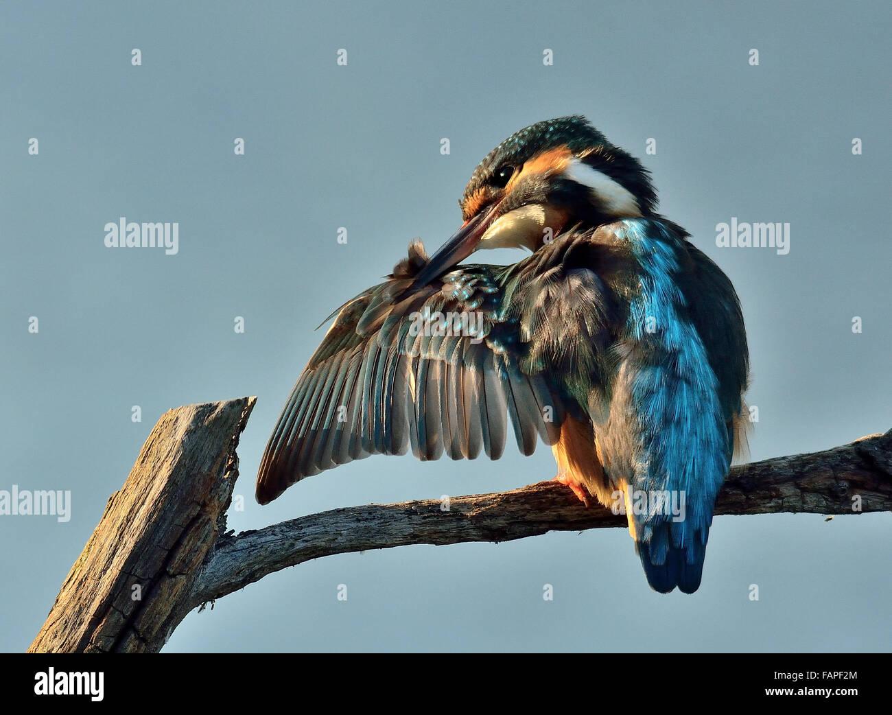Eurasian Kingfisher clean the plumage - Stock Image