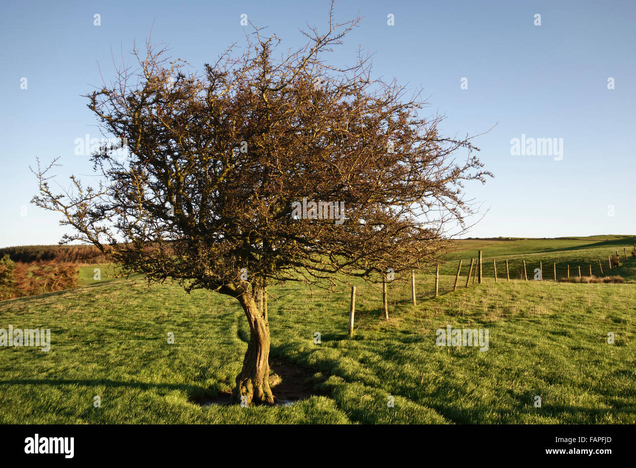 Stonewall Hill near Knighton, Powys, mid Wales, UK. A solitary hawthorn tree near the summit - Stock Image