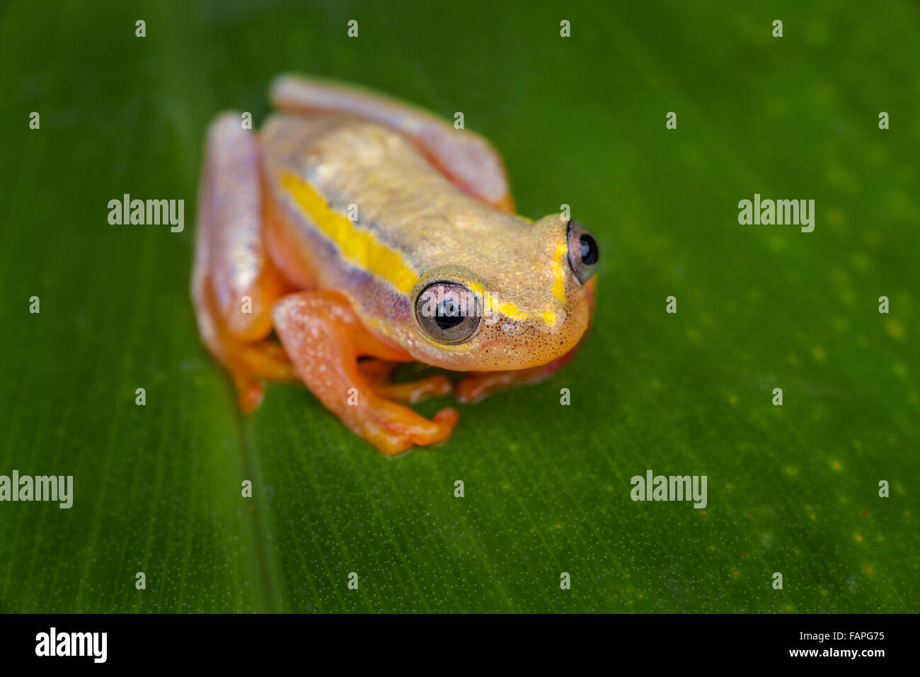 A tiny tree frog on a leaf, Andasibe National Park, Madagascar. Stock Photo