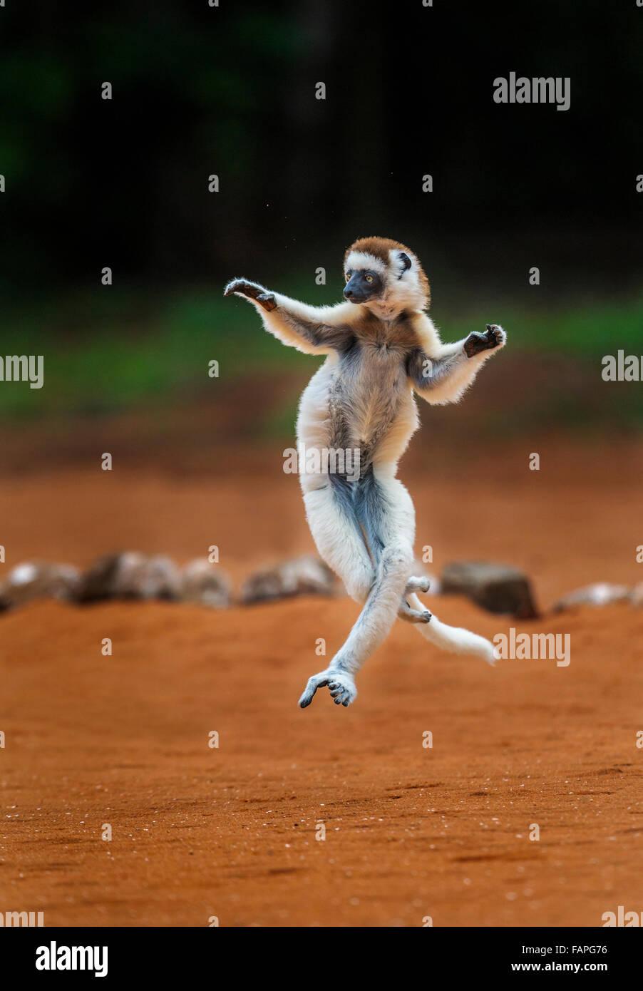 A jumping Verreau's Sifaka, Berenty Reserve, Madagascar. - Stock Image