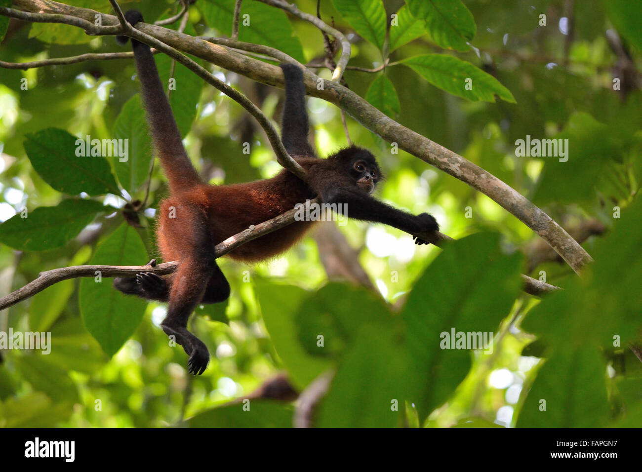 Spider monkey on the tree in Corcovado National Park Stock Photo