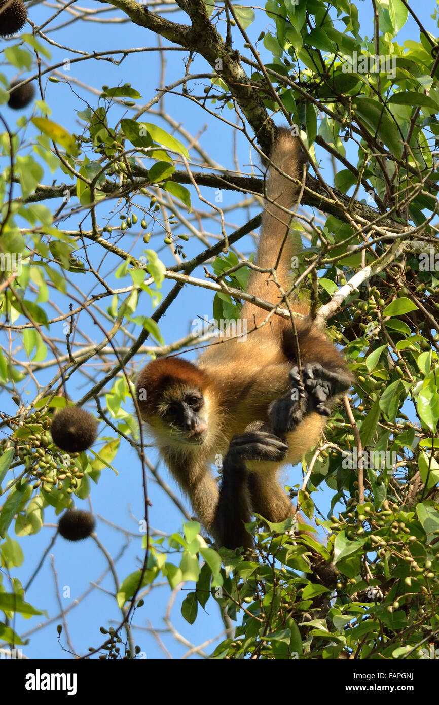 Spider monkey on the tree in Tortuguero National Park Stock Photo