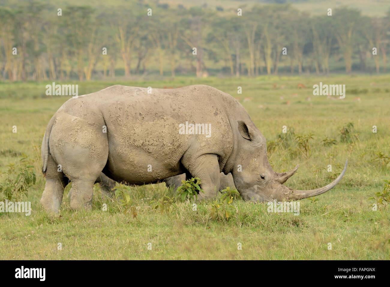 White rhino in Lake Nakuru National Park Kenya - Stock Image