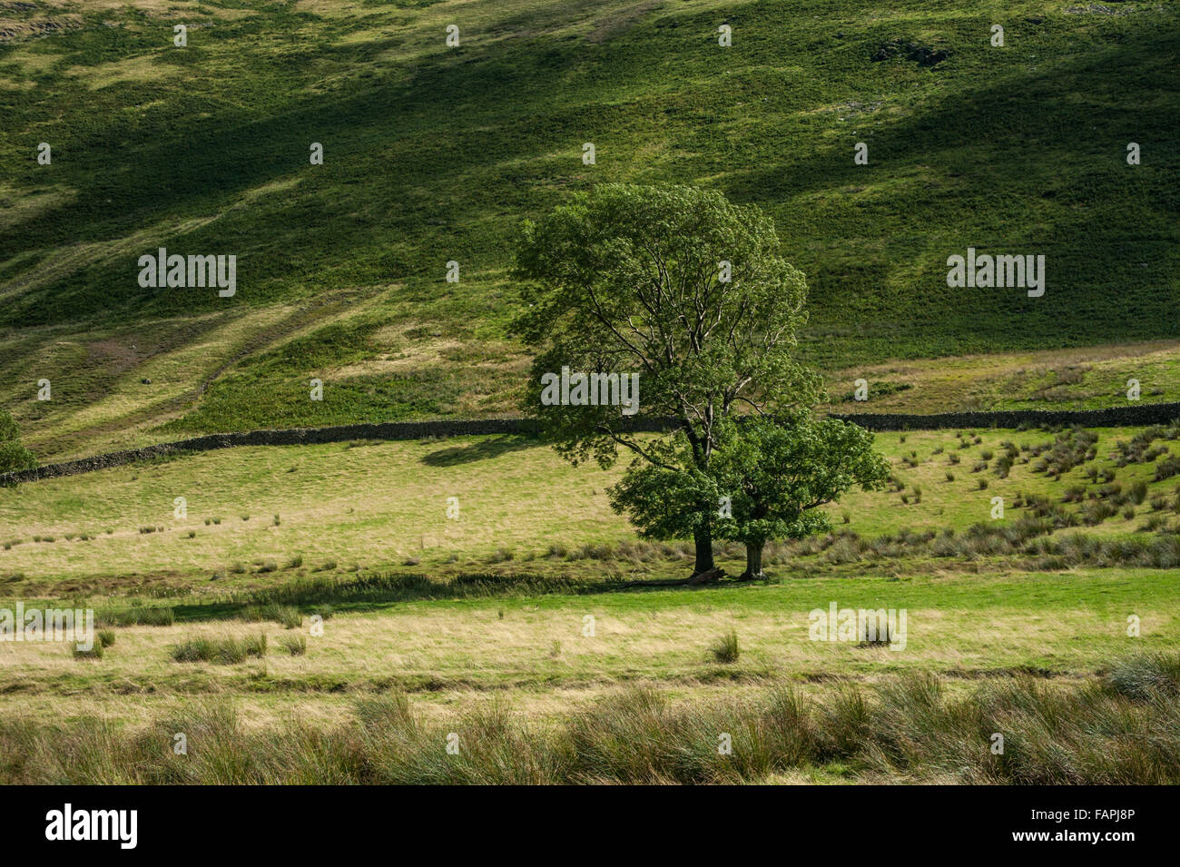 Lone Tree in Boredale the Eastern Fells of Lakeland Stock Photo