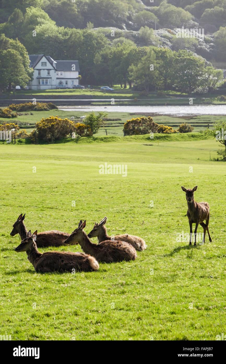 Red deer hinds (Cervus elaphus) grazing on golf course. Lochranza, Isle of Arran, North Ayrshire, Scotland, UK, - Stock Image