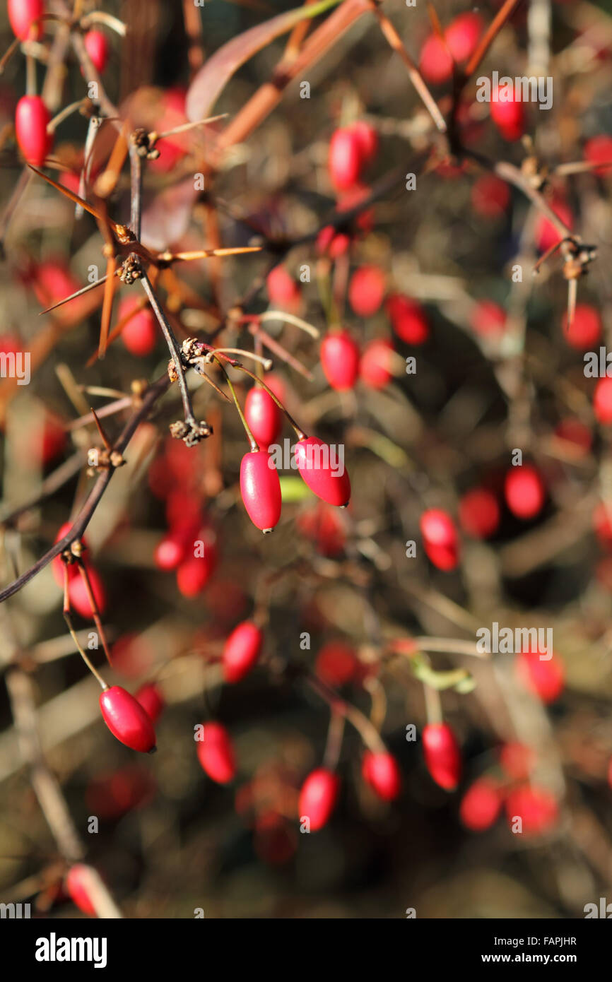 The Vibrant Red Berries In Winter On A Prickly Bush Stock Photo