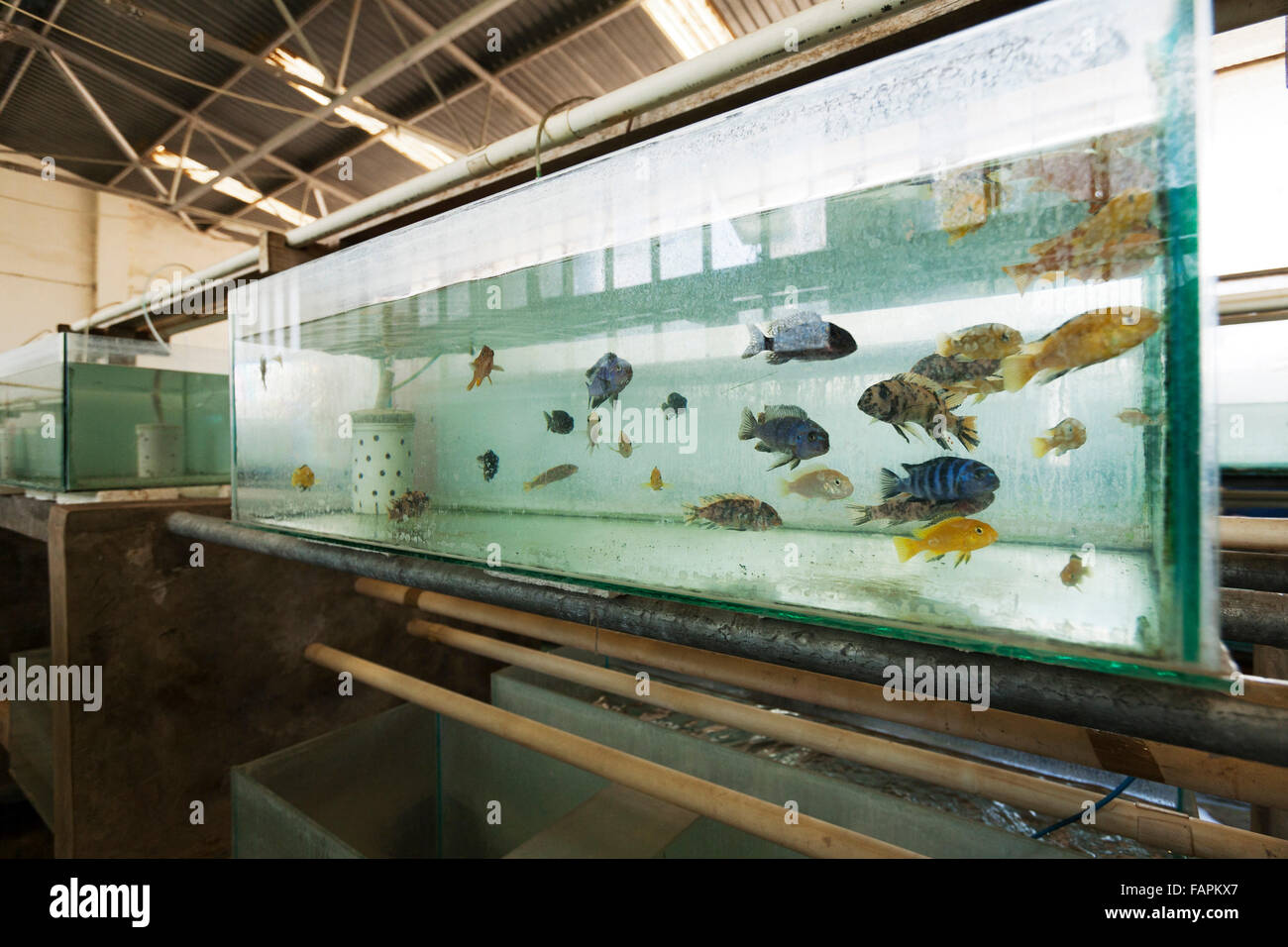 Tanks used for breeding Malawi Cichlid fish Senga Bay, Malawi  November 2012 - Stock Image