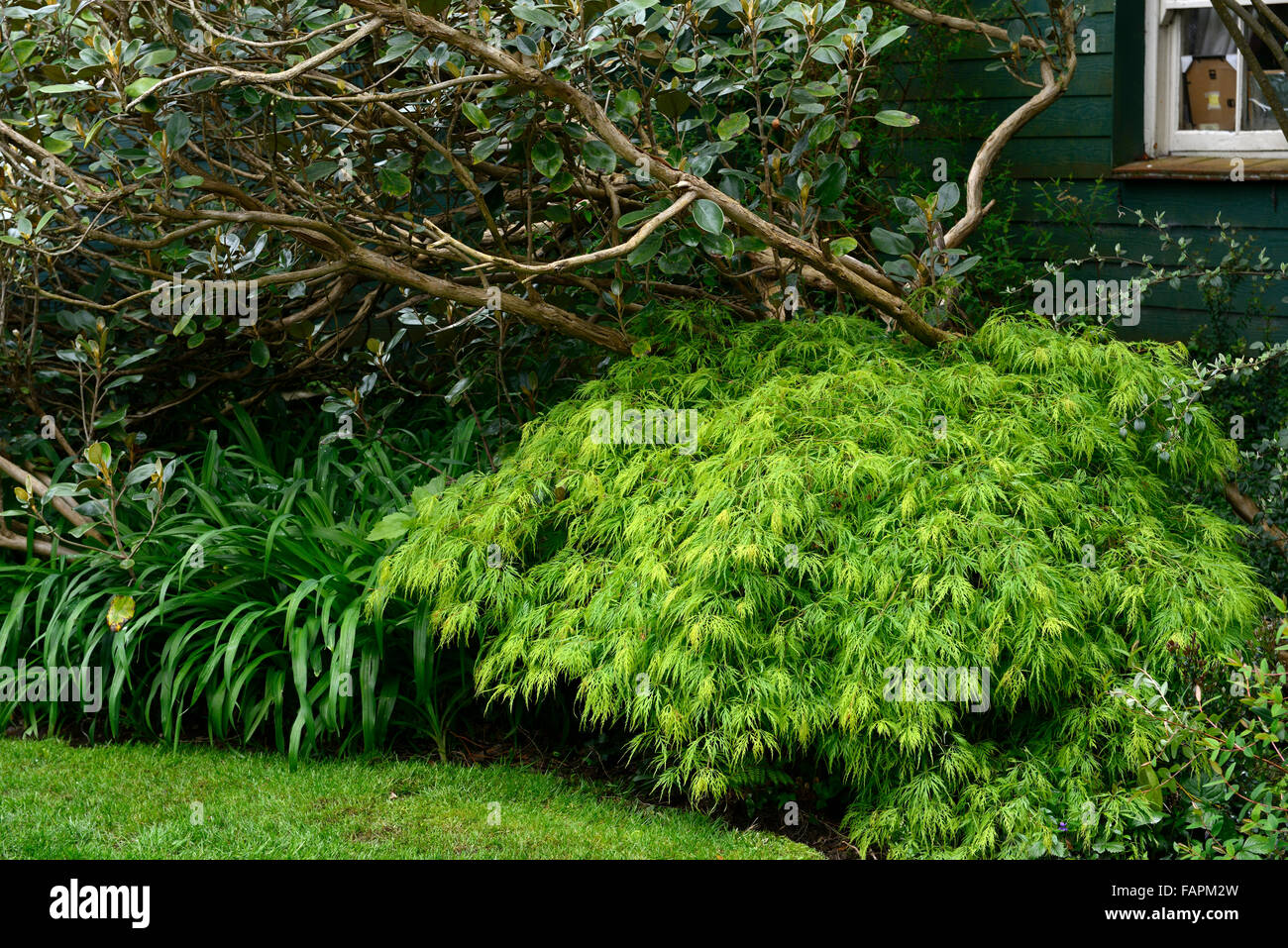 acer palmatum dissectum undergrowth layer rhododendron underplant shade shady side house RM Floral Stock Photo