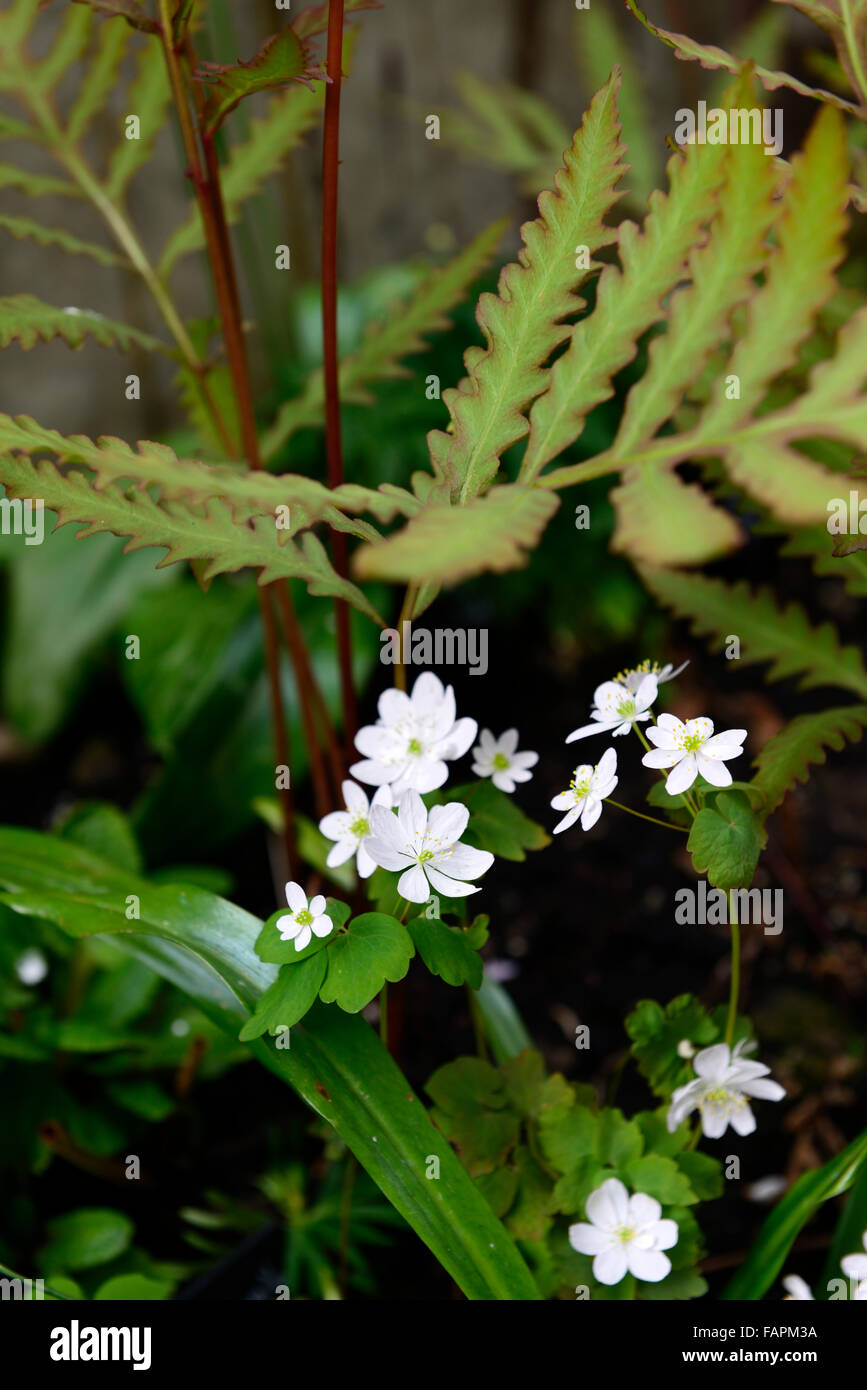 anemonella thalictroides sensitive fern white flowers foliage spring growth emerge ephemeral RM Floral - Stock Image