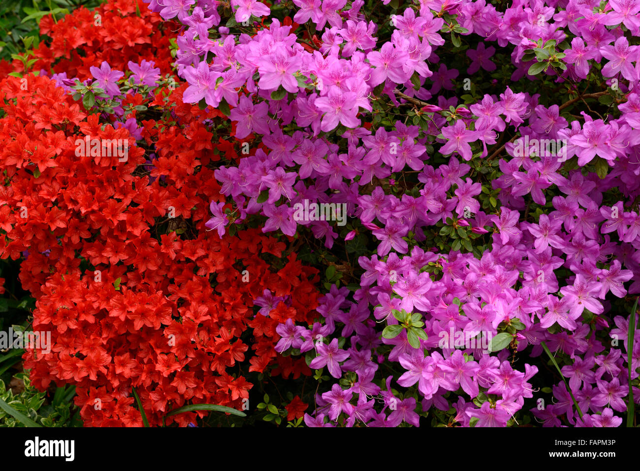 Flowering Red Azalea Stock Photos & Flowering Red Azalea Stock ...